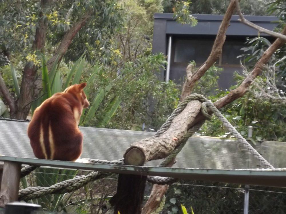 klokan austrálie taronga zoo