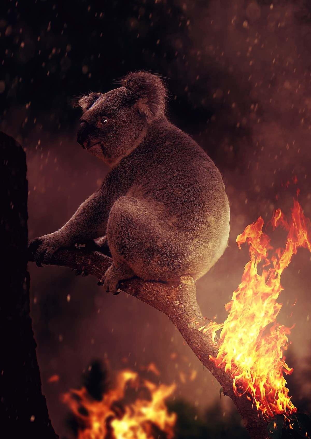 koaly v Austrálii