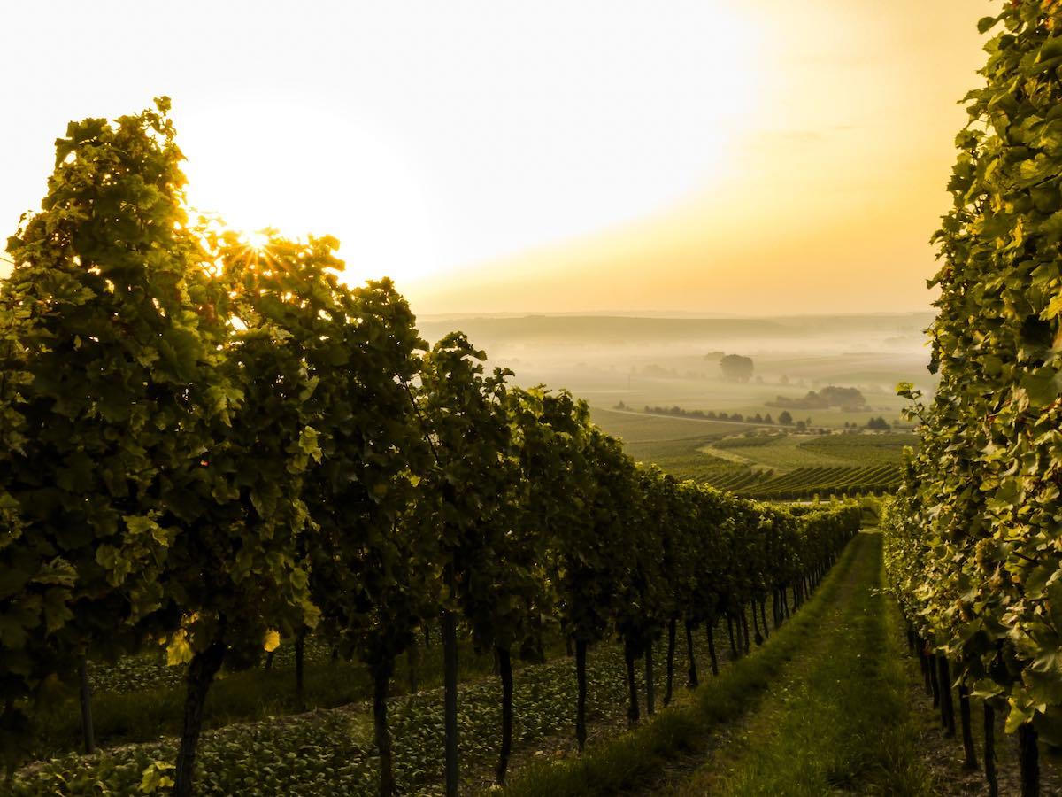 vinice v Austrálii