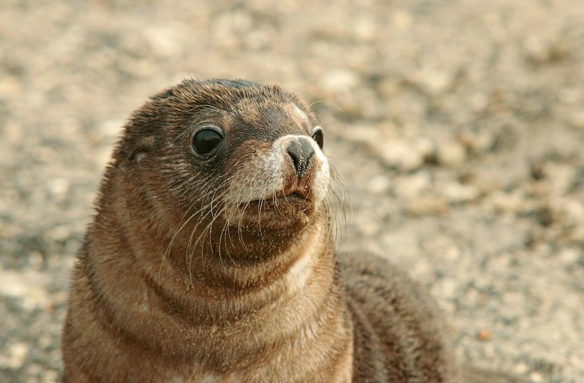 Klokaní ostrov - tuleň