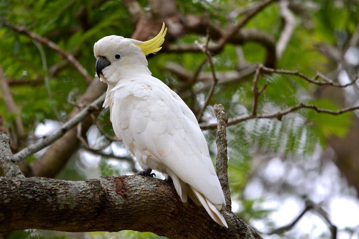 prales Daintree-papoušek